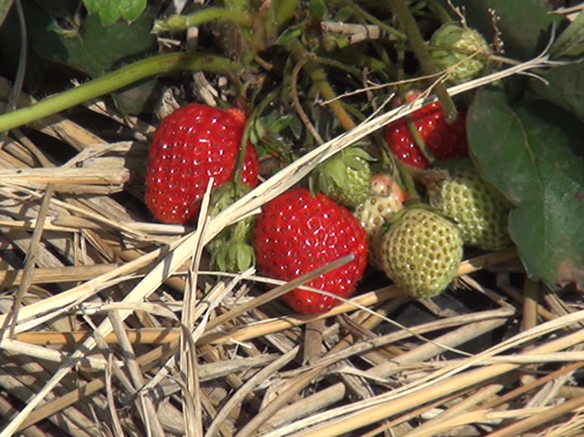 130502_organic-strawberry_houko.jpg