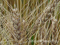 140619_wheat-CC_s.jpg