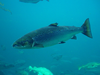 Atlantic_Salmon_s.jpg