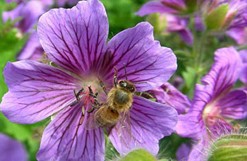 Bee-on-geranium.jpg / Flickr