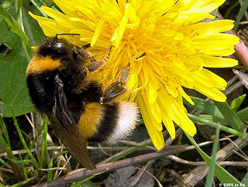 Bombus_terrestris.jpg / Flickr