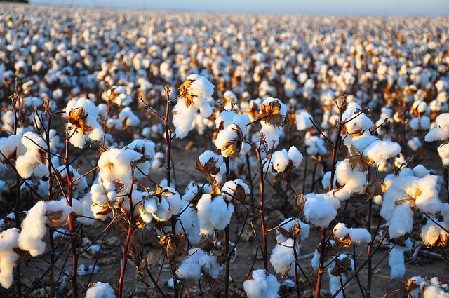 Cotton-Field-USA.jpg / Flickr