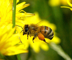 European_Honey_Bee.jpg / Flickr