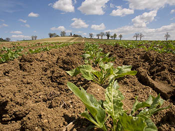 France-sugar-beet.jpg / Flickr