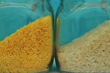 Golden-Rice_1.jpg / Flickr