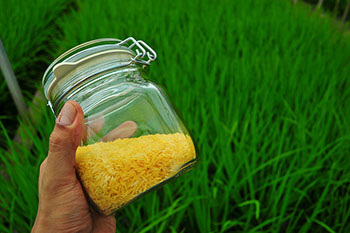 Golden-Rice_6.jpg / Flickr