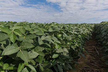 High_Oleic_Soybeans.jpg / Flickr