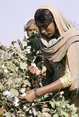 India_cotton-1_s.jpg / Flickr