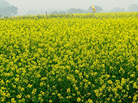 Mustard_Fields_s.jpg / Flickr