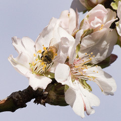 almond_bee_89502352.jpg / Flickr