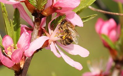 bee_almond.jpg / Flickr