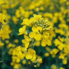 canola_Swiss.jpg / Flickr