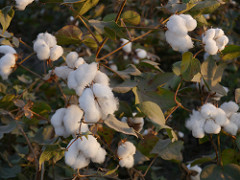 cotton_india.jpg on Flickr