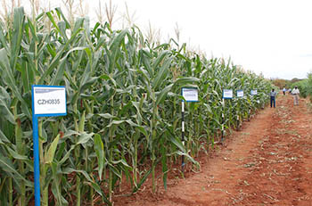 drought_maize_kenya.jpg / Flickr