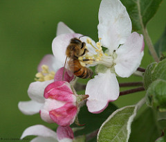 honeybee-apple.jpg / Flickr