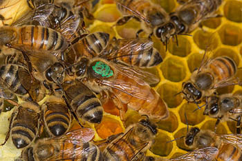 honeybee-colony.jpg / Flickr