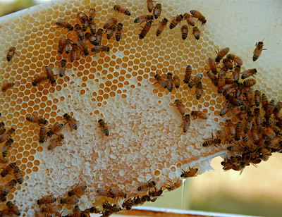 honeybee_nest.jpg / Flickr