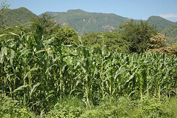 maize_mexico.jpg / Flickr