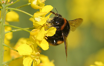 rape_Bumble_Bee.jpg / Flickr