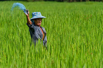 rice_paddy_Thai-2.jpg / Flickr