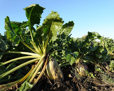 sugar_beet_uk.jpg / Flickr