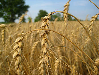 wheat_Canada.jpg / Flickr
