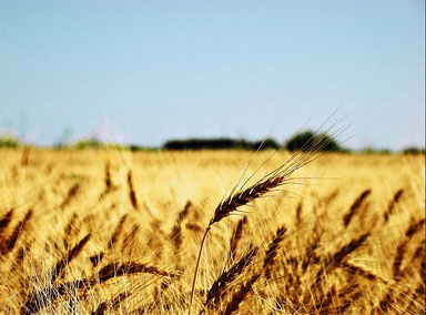 wheat_argentina-2.jpg / Flickr