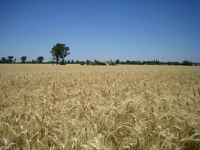 wheat_argentina.jpg / Flickr