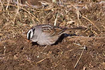 white-crowned-sparrow.jpg / Flickr